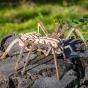 Dřevěný skládací 3D model - Spider